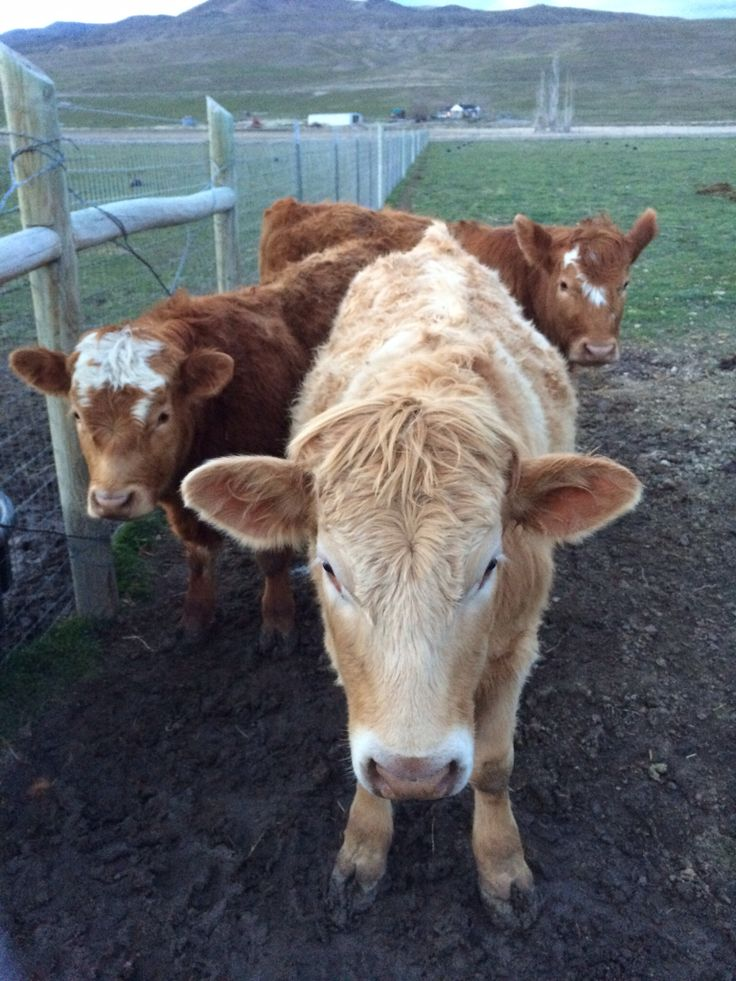 Sim-Red Angus cross. Sweet disposition.