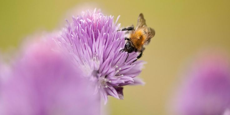 A solitary bee is one of the essential pollinators to ensure we have chives to use in our salads. One third of the food we eat requires pollinating.