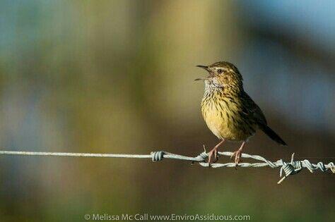 Striated Thornbill having a sing