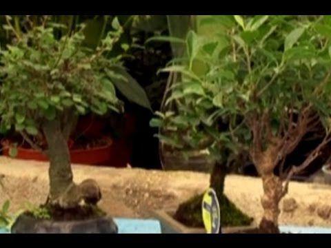 Bonsai Bitkisi - Bonsai Bakımı, Sulaması, Budaması, Yer Seçimi 3. Bölüm