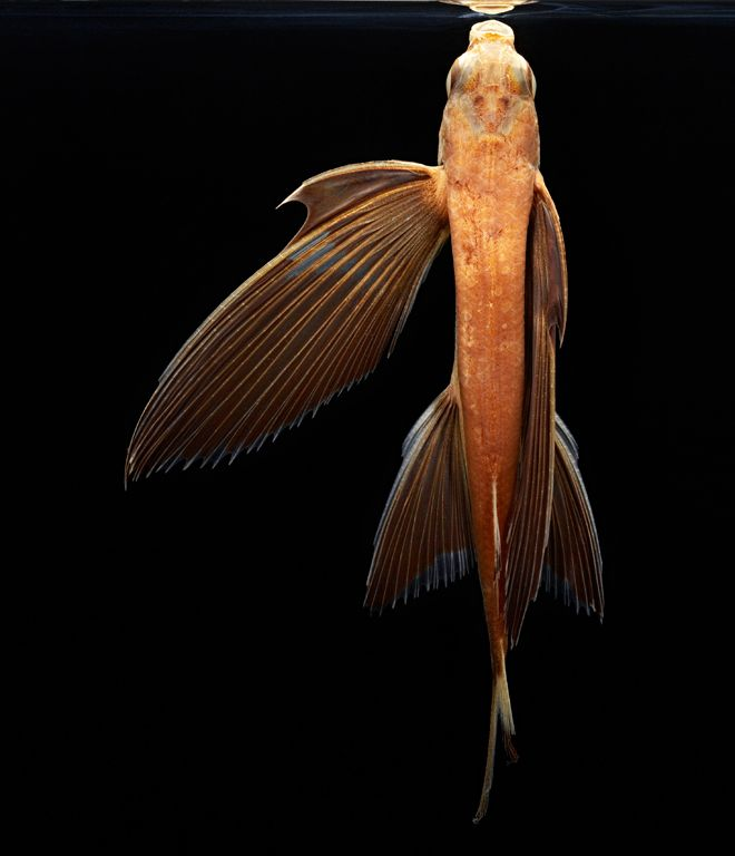 14 best images about flying fish on pinterest them for Fish and wings