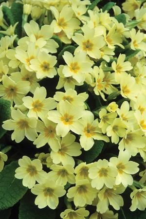 Wild Primrose - Primula vulgaris