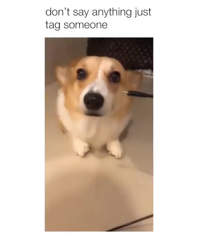 Video Memes Qs0pfxwn6 By Jongin 0 6k Comments Ifunny With Images Cute Animal Memes Corgi Funny Corgi