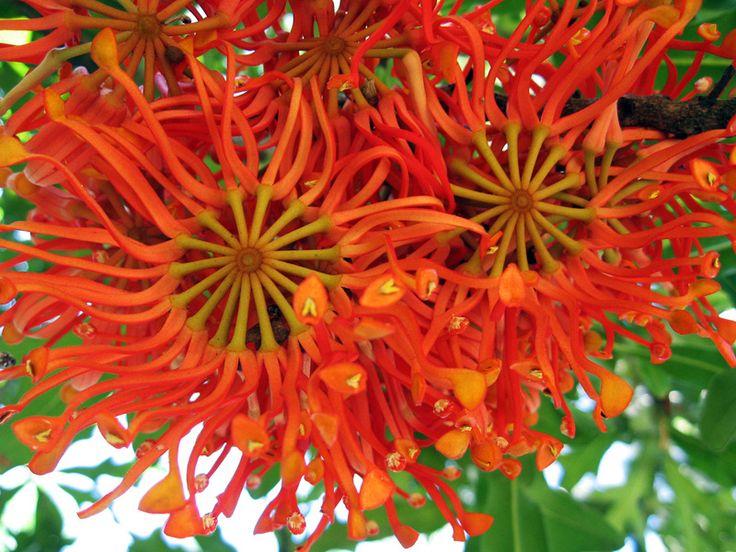 Protea - Stenocarpus sinuatus, aka Firewheel Tree
