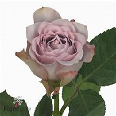 Rose Dancing Clouds 60cm is a lovely Lilac cut flower - wholesaled in Batches of 20 stems. As a rule of thumb, the taller the stem the larger the flower head