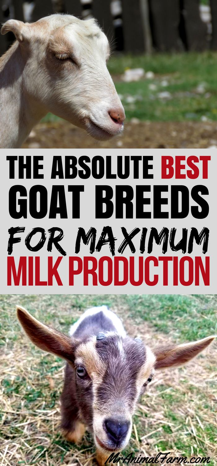 Dairy Goats. There are so many goat breeds. If you are looking for milk production, you will want to find the best dairy goat breeds for your situation.