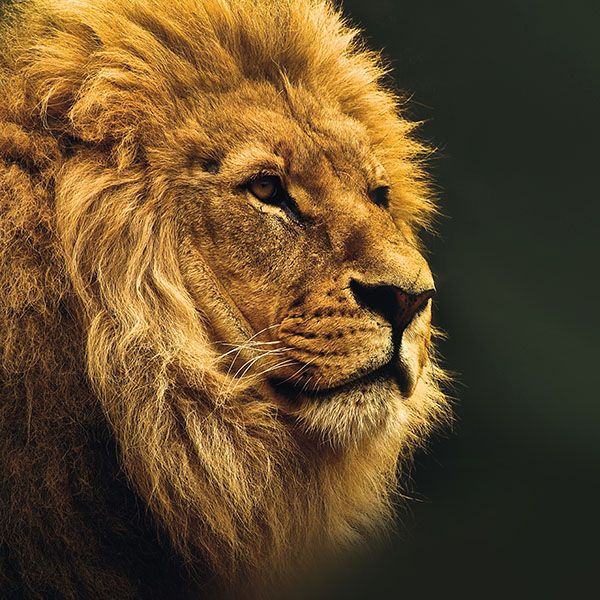 Papers.co wallpapers - mu49-national-geographic-nature-animal-lion-yellow - http://papers.co/mu49-national-geographic-nature-animal-lion-yellow/ - animal