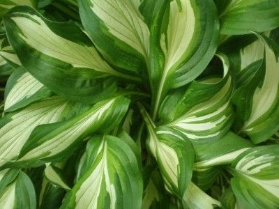 Growing Hostas: How To Care For A Hosta Plant - Hosta plants are a perennial favorite among gardeners. Their lush foliage and easy care make them ideal for a low maintenance garden. Read this article to learn more about the care of hostas in the garden.