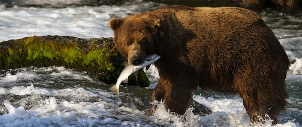 Attention bear lovers! Brown bears are on the hunt for salmon at the world's largest sockeye salmon run, and we've set up a live camera so you can watch! Check out the Brown Bear & Salmon Cam, streaming from Brooks River, Alaska.