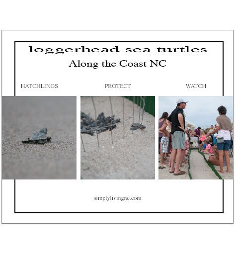 Learn how you can experience Sea Turtles hatching along the Carolina Coast... #seaturtles #carolinacoast #nc #loggerhead #seaturtlenest #loggerheadseaturtles #babyseaturtles #breathtaking #budgettravel #beachvacation