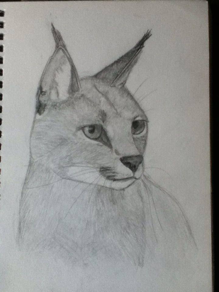 Caracal sketch