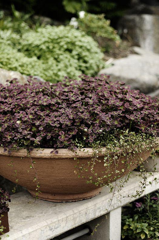 Trifolium i by victoria skoglund i zetas finsmakarens trädgård ...