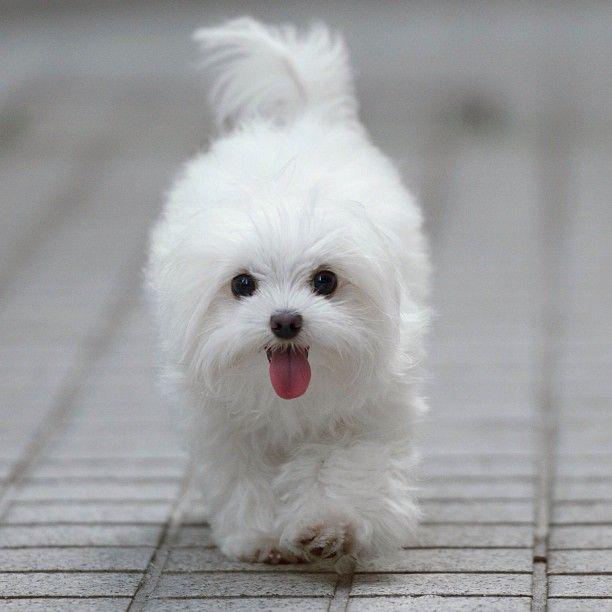 Happy #Maltese - #animals