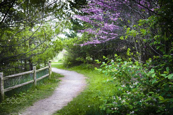 Woodland path in spring - Curving path meanders through fresh spring green woodland bordered by pink flowering redbud trees.