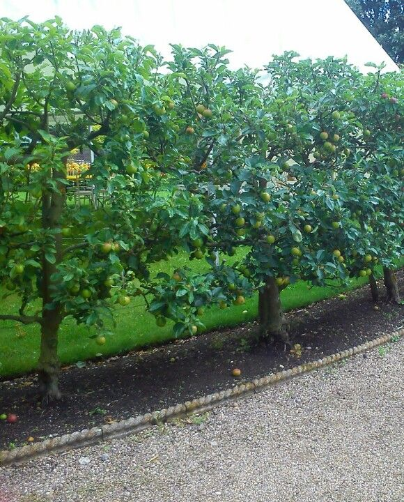 I like the idea of using trained fruit trees as a hedge  Alongside the front patio? Maybe shorter.