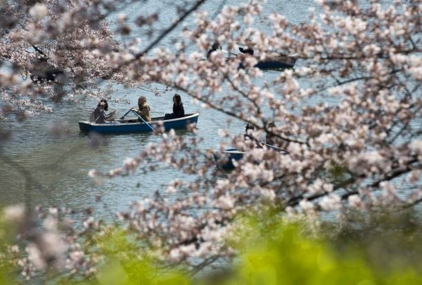 People ride a row boat near cherry trees in bloom at the Chidorigafuchi moat in Tokyo, Japan. Japan's cherry blossom season is reaching its climax this week. The season officially kick...