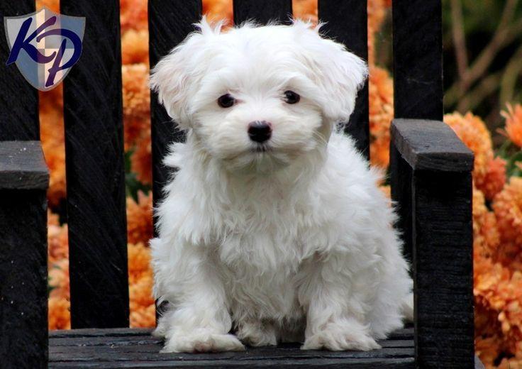 Maltipoo Puppies For Sale Nakuru Kenya