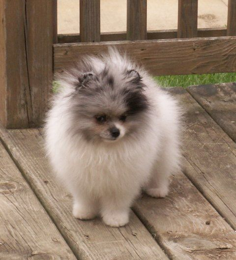 Big Long Haired Fluffy Husky Looking Dog