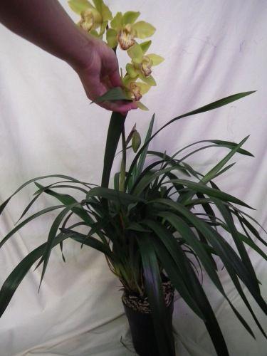 цимбидиум (чтение) - Все о комнатных растениях на flowersweb.info