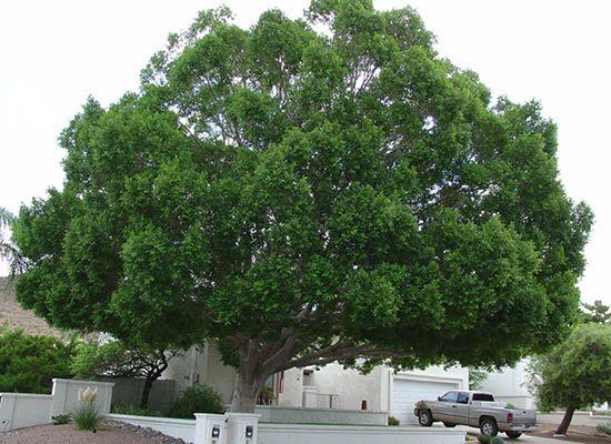 Shamel Ash For Fast Growing Desert Trees Moon Valley Nursery Phoenix Arizona Gardening Pinterest Shade Garden And