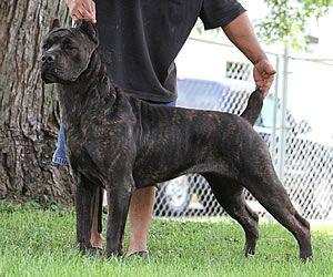 Alcor's Brahma, Black Brindle Cane Corso Mastiff