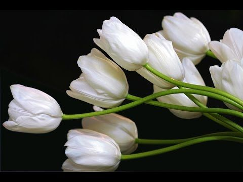 white tulips - white tulips in vase - white tulips for sale