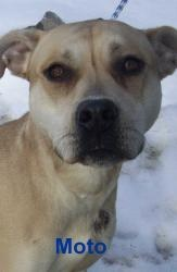 Moto is an adoptable Pit Bull Terrier Dog in Utica, NY. Please come visit me at the Stevens-Swan Humane Society or call to find out about me at 738-4357....