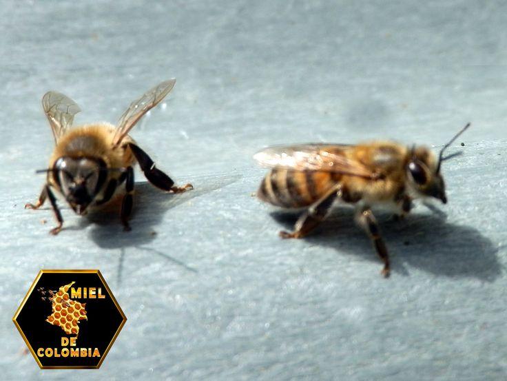 Las abejas obreras también utilizan sus glándulas de Nasanoff al viajar como enjambre en búsqueda de un nuevo asentamiento. Las abejas  exploradoras – que ya han seleccionado el lugar más adecuado para asentarse- llaman al resguardo encontrado al resto de la colonia lanzando esta feromona. Si nos encontramos en las proximidades de un enjambre notaremos un agradable olor que es emitido por estas glándulas, resulta agradable caminar al lado de un enjambre que está moviéndose por el campo.