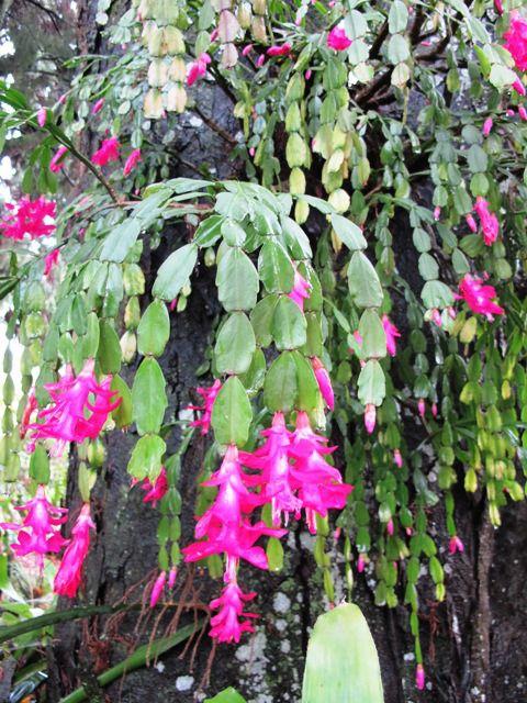 17 melhores imagens de schlumbergera truncata flor de - Como transplantar cactus ...