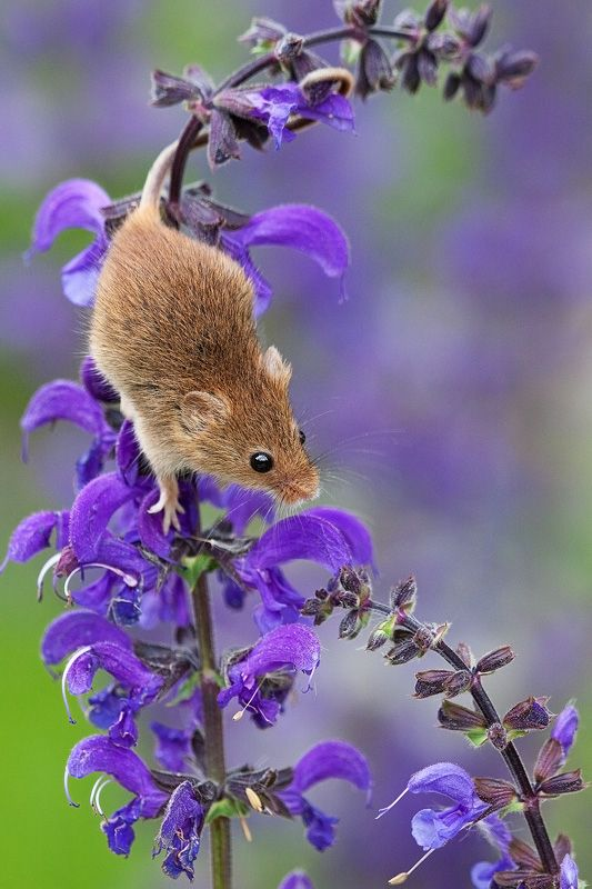 I think mice are eating my young campanula plants. What other plants do they like? What do I do about it without harming the little timid beasties? Have a garden full of campanulas till they gorge themselves?