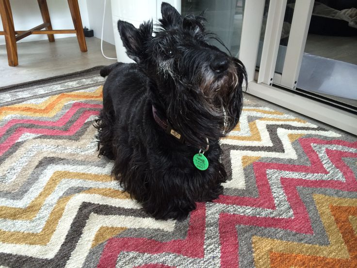 Lucy, our elderly scottie, inspects the new rug we bought.