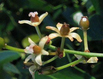 Flora della Sardegna: dettaglio di fiore di salsapariglia