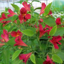 Die Inkalilie, eine üppige Pflanze mit vielen Blüten.  Die #Inkalilie ist eine üppige #Pflanze mit vielen Blüten, je nach Art wird sie zwischen 40-100 cm groß, in der Wachstumsphase braucht die Pflanze viel Licht  http://www.gartenschlumpf.de/die-inkalilie/
