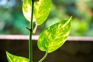 A close-up of leaves on a climbing pothos vine.