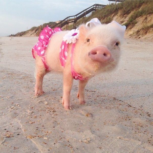 33 best Piggies images on Pinterest