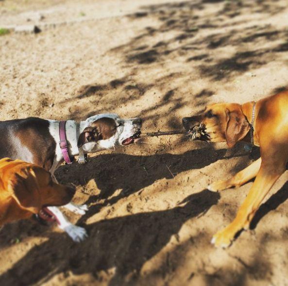 Tug o' war at Manayunk Dog Park at Pretzel Park - Philadelphia, PA - Angus Off-Leash #dogs #puppies #cutedogs #dogparks #philadelphia #pennsylvania #angusoffleash
