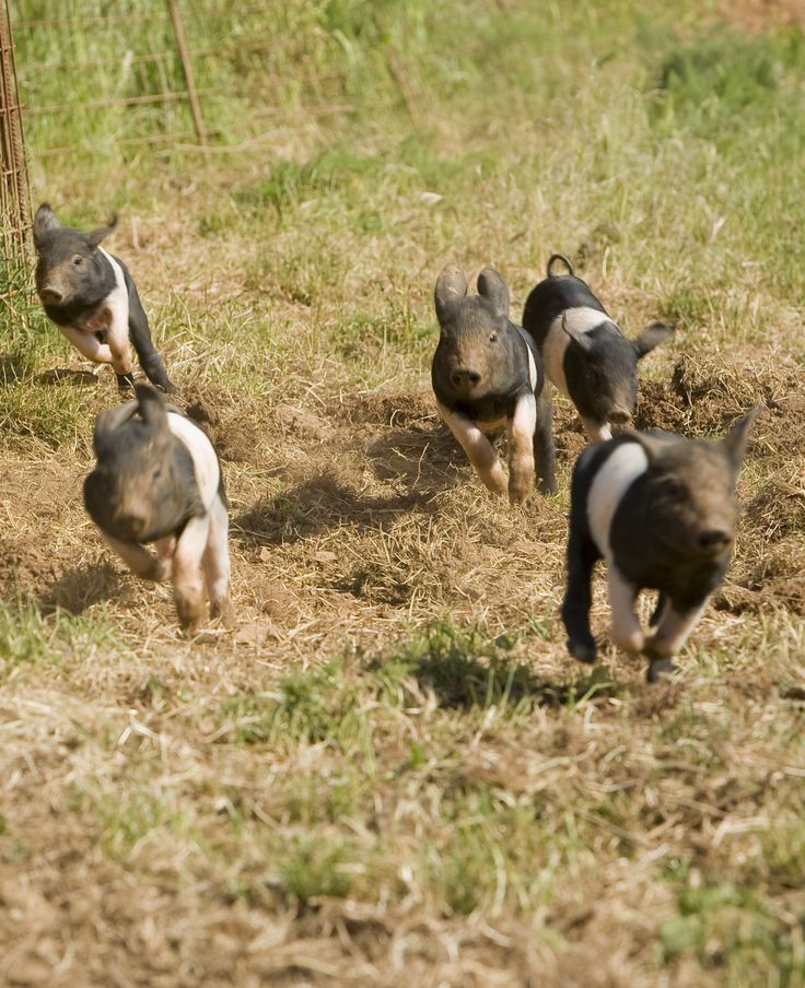 Cinta Senese pigs, which are a local Tuscan breed, were classified as an endangered species and they almost went extinct! As part of our dedication to promoting Tuscan culture, we only raise the Cinta Senese. In order to live a happy life, they need a lot of space to roam and forage. These cute piglets seem to be very happy.