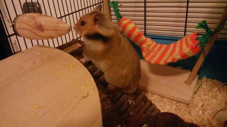 Unser Goldhamster in seinem Käfig