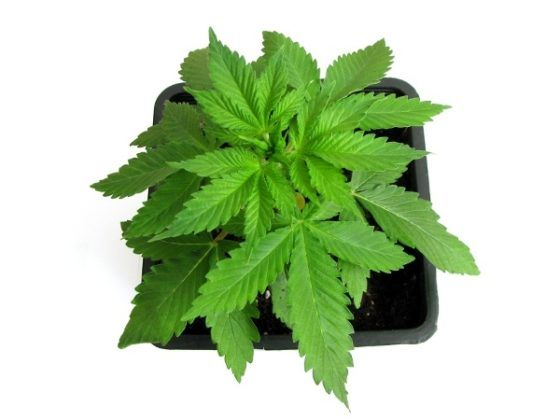 planta de marihuana automatica