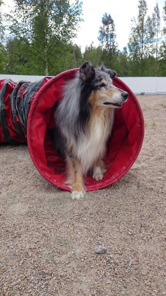 """This is Nasu, 10-years old. Earlier Nasu was slowed down by painful arthritis but now Nasu loves to run around because her owner is giving her Nutrolin Joint Duo every day. Nasus owner: """"My 10-year old Rough Collie has been getting Nutrolin Joint Duo for a couple of years now. Both the condition and the health have really improved – I want to recommend this product to everybody!"""""""