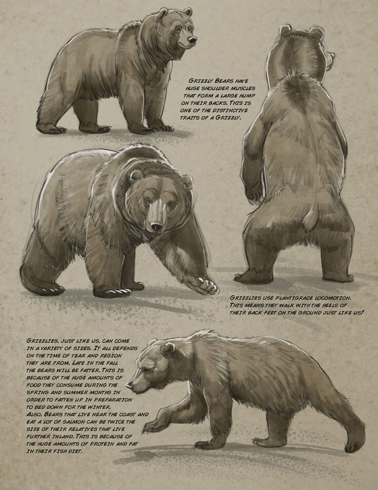 Black bear anatomy