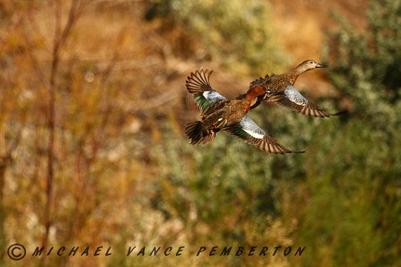 Cinnamon Teal Ducks  A Must Have For Your by Looksphotography