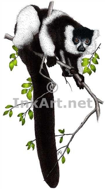 Full color illustration of a Black and White Ruffed Lemur (Varecia variegatas)