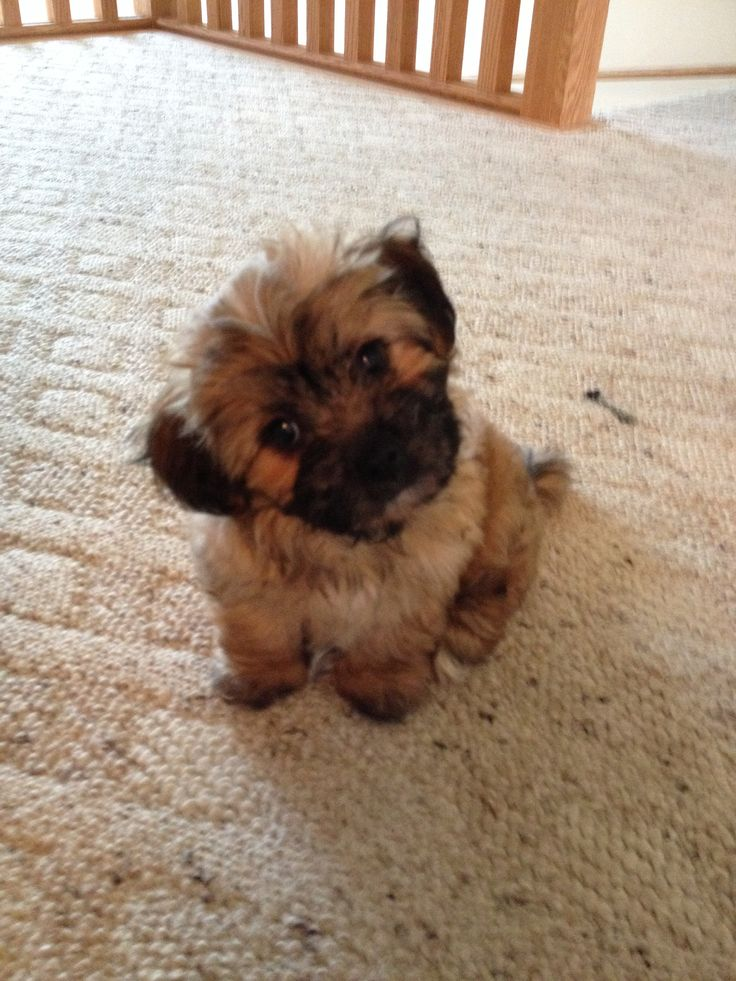 Shih Tzu Bichon Mix Known As The Quot Teddy Bear Quot 10 Weeks