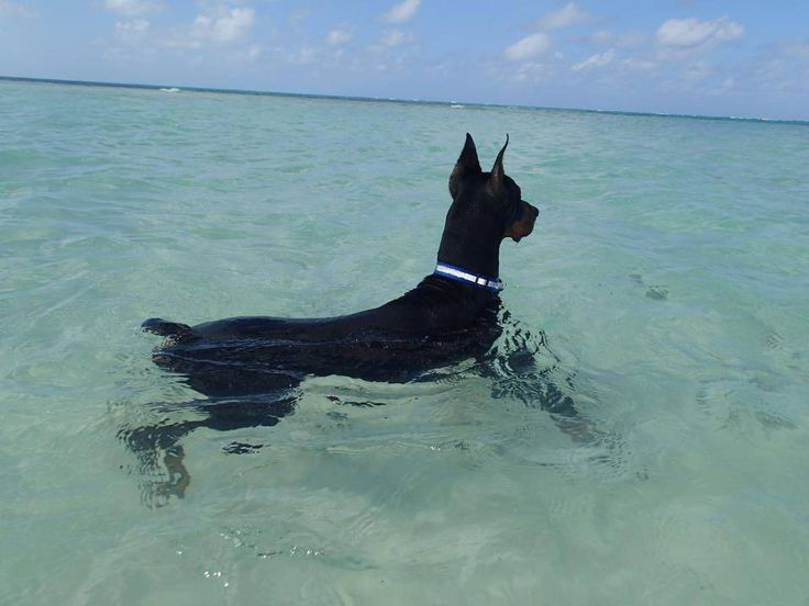 """Laura Horan """"Blue"""" Destas Midnight Blue loves floating in the sea in front of Rum Point, Grand Cayman watching for Turtles"""