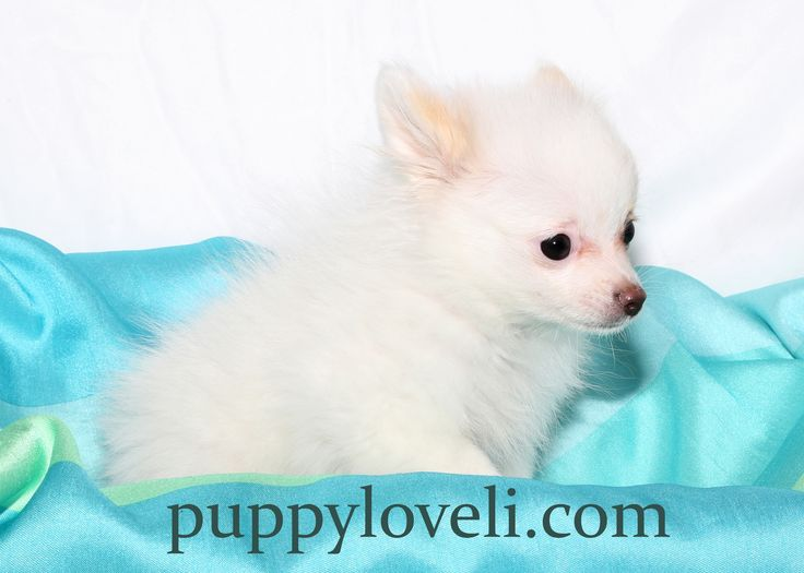 Pomeranian for sale on Long Island