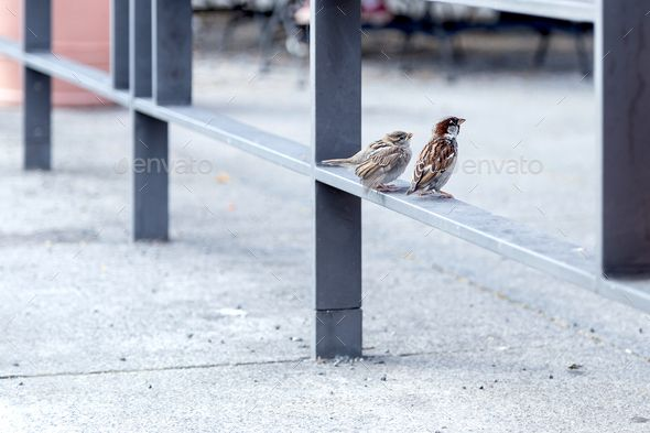 Canaries on a railing