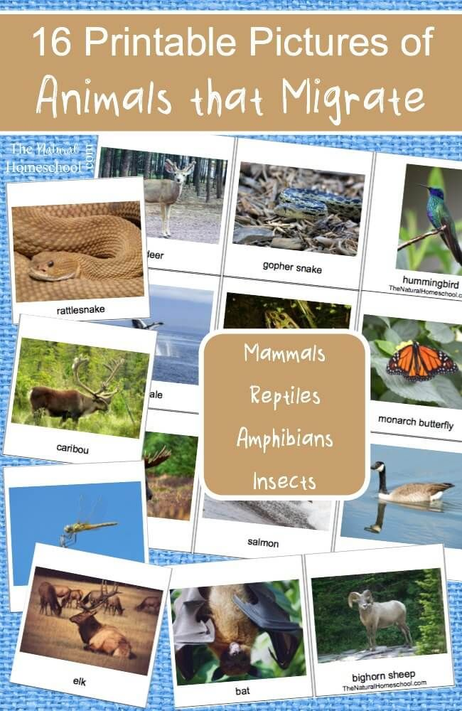 We love studying what animals do in Winter! Here, you will find free printable pictures of animals that migrate in winter! There are 16 beautiful cards!