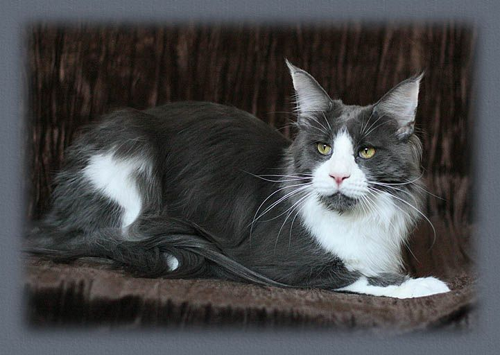 11 Best Images About Maine Coon Blue Solid Amp White On Pinterest Heart Cats And Vanilla