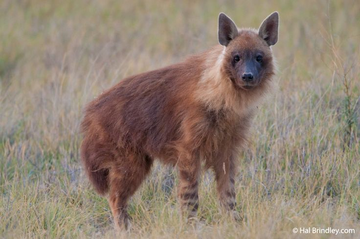 A Brown Hyena (Hyaena brunnea), the rarest species of hyena, in the Makgadikgadi Pans of Botswana.